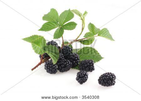 Wonderful Ripe Blackberries.