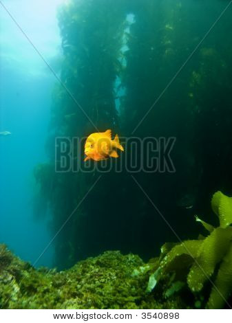 Garibaldi Swimming Out Of The Kelp In Catalina