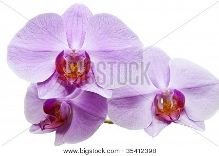 three flowers of orchid