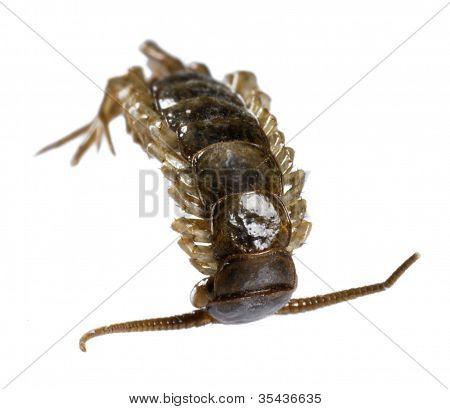 Dead Supine Centipede
