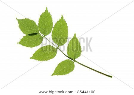 Ordinary Ash (Fraxinus excelsior)