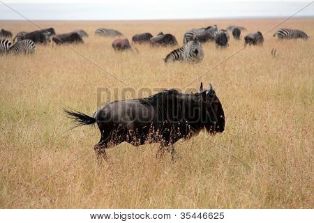 running wildebeests