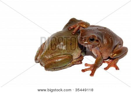 Dumpy Tree Frogs