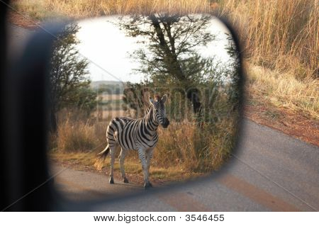 Zebra On Safari