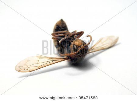 Dead Hornet