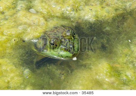 Frog In Scum