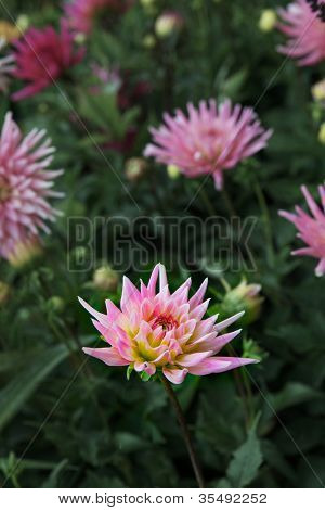 Single sharp image of a  Pink chrysanthemum in field of soft focus flowers