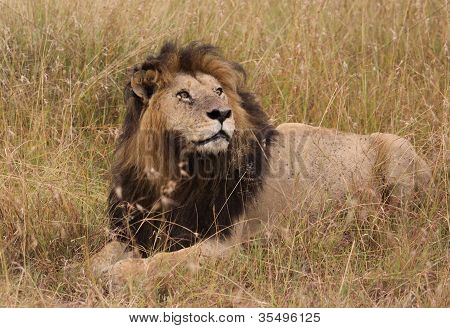 lion in Africa