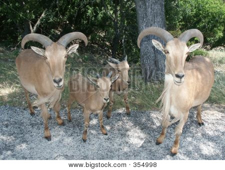 Aoudad Or Barbary Sheep1