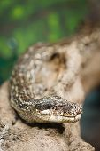 stock photo of burmese pythons  - Snake with copyspace Burmese python closeup in a tree - JPG