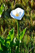 foto of arum lily  - Close up of beautiful white Arum Lily - JPG