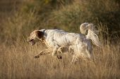 picture of english setter  - side view of white english setter purpurebred dog running - JPG