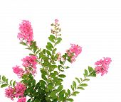 stock photo of crepe myrtle  - crepe myrtle flowers - JPG
