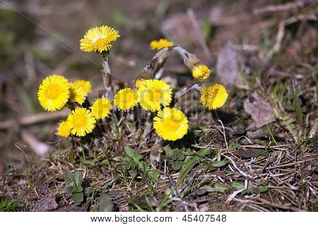 Spring Coltsfoot Flowers