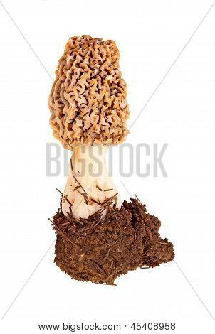Fresh Morel Mushroom And Soil Against White