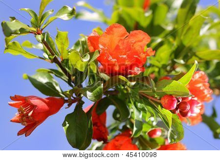 Twig Blossoming Pomegranate