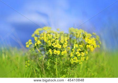 Amarelo canola colza