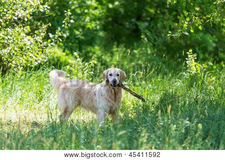 dog retriver in forest