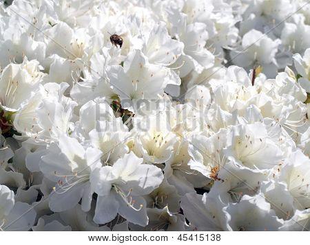 Azelea Bush In Full Bloom