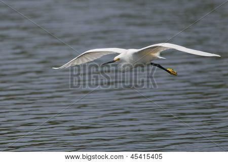 Snowy Egret (egretta Thula) Flying