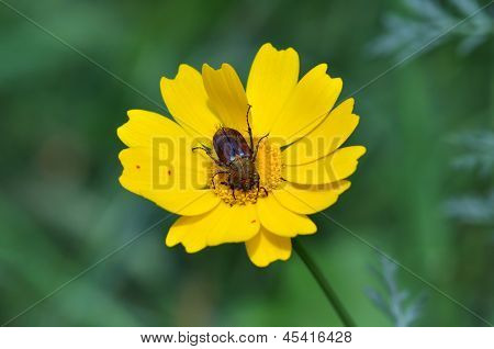 Beetle On Yellow Flower