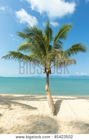 palm at sand beach of Samui island Thailand