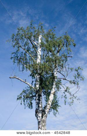Pruned Birch