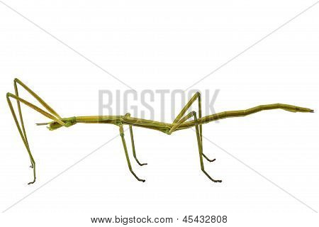 Spanish Walking Stick Insect  Species Leptynia Hispanica