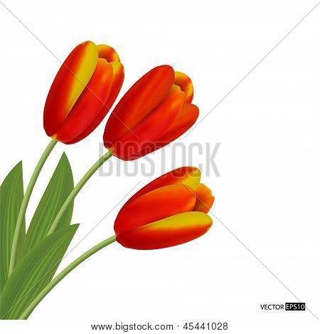 Three  tulips isolated on white background. Vector illustration.