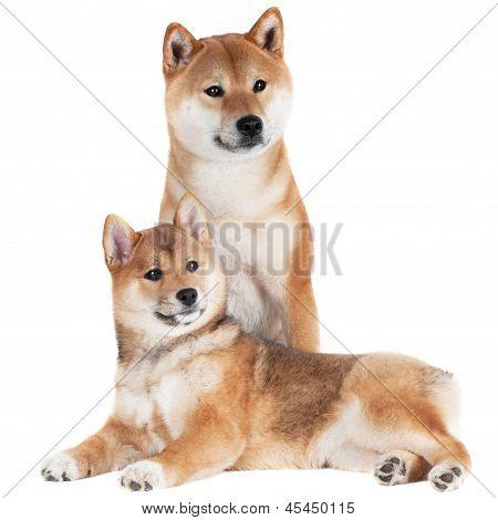 shiba inu dog and puppy