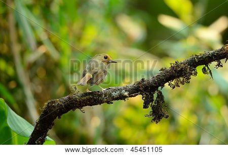 Rufous-browed Flycatcher(ficedula Solitaris)