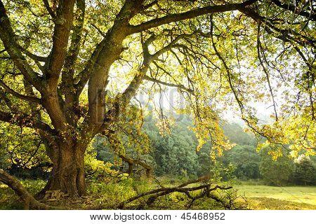 Oak Tree And Meadow