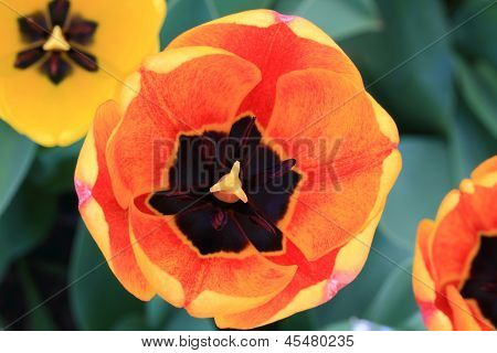 Tulips In Blooming. Closeup Wiev Of Motley Tulip Flower.