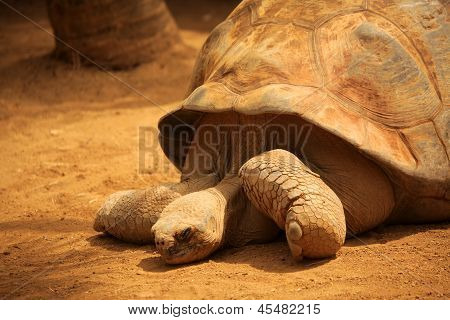 Big old slow turtle