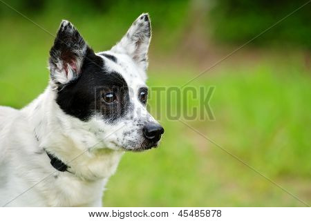 Portrait of blue heeler or Australian cattle dog with space for copy
