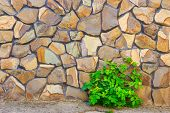 foto of celandine  - celandine plant on the background of uneven yellow stone wall - JPG