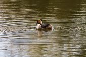 picture of great crested grebe  - Great Crested Grebe preening on lake in Sessex - JPG