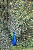 pic of indian peafowl  - Details of an indian peafowl displaying in captivity - JPG