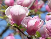 picture of saucer magnolia  - close up of branches of magnolia tree with blossom - JPG