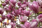 stock photo of saucer magnolia  - background of magnolia branches with pink flowers - JPG