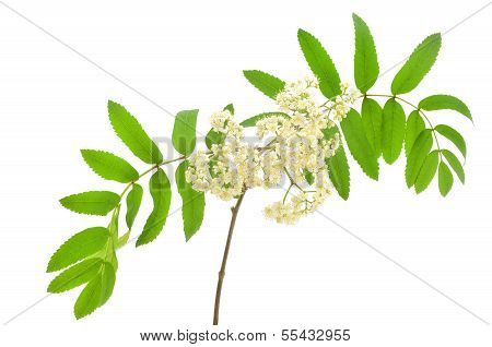 Blossoming Sorbus Aucuparia