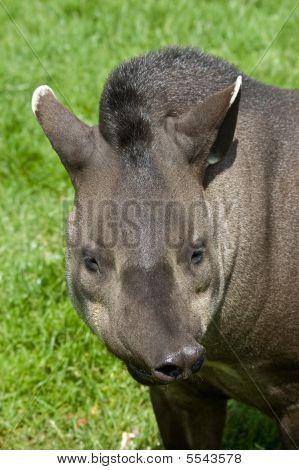 Funny Tapir