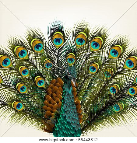 Background With Vector Detailed Peacock On White For Design