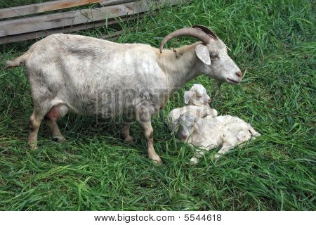 Goat With Kids