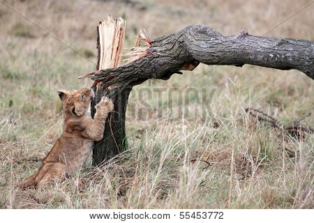 Lion cub playing with broken tree in the Masai Mara reserve in Kenya Africa