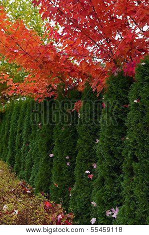 Cedar Hedge And Maple Trees