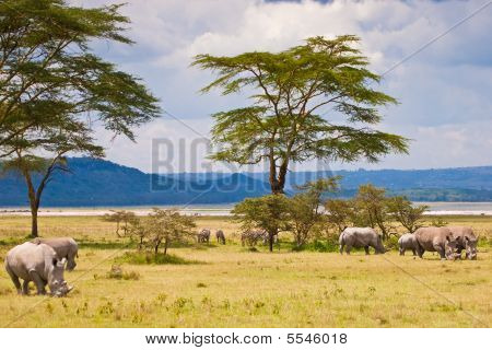 White Rhinoceros Grazing At Lake Baringo, Kenia