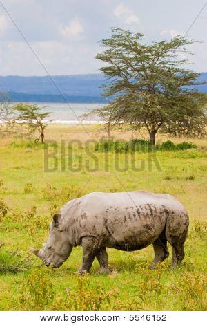 White Rhinoceros Grazing At Lake Baringo, Kenia