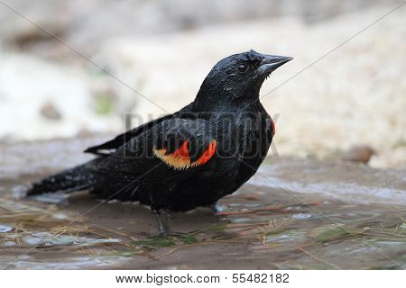 Red-winged Blackbird Bathing In A Shallow Pond