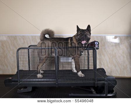 Hund auf einem Laufband in der Halle